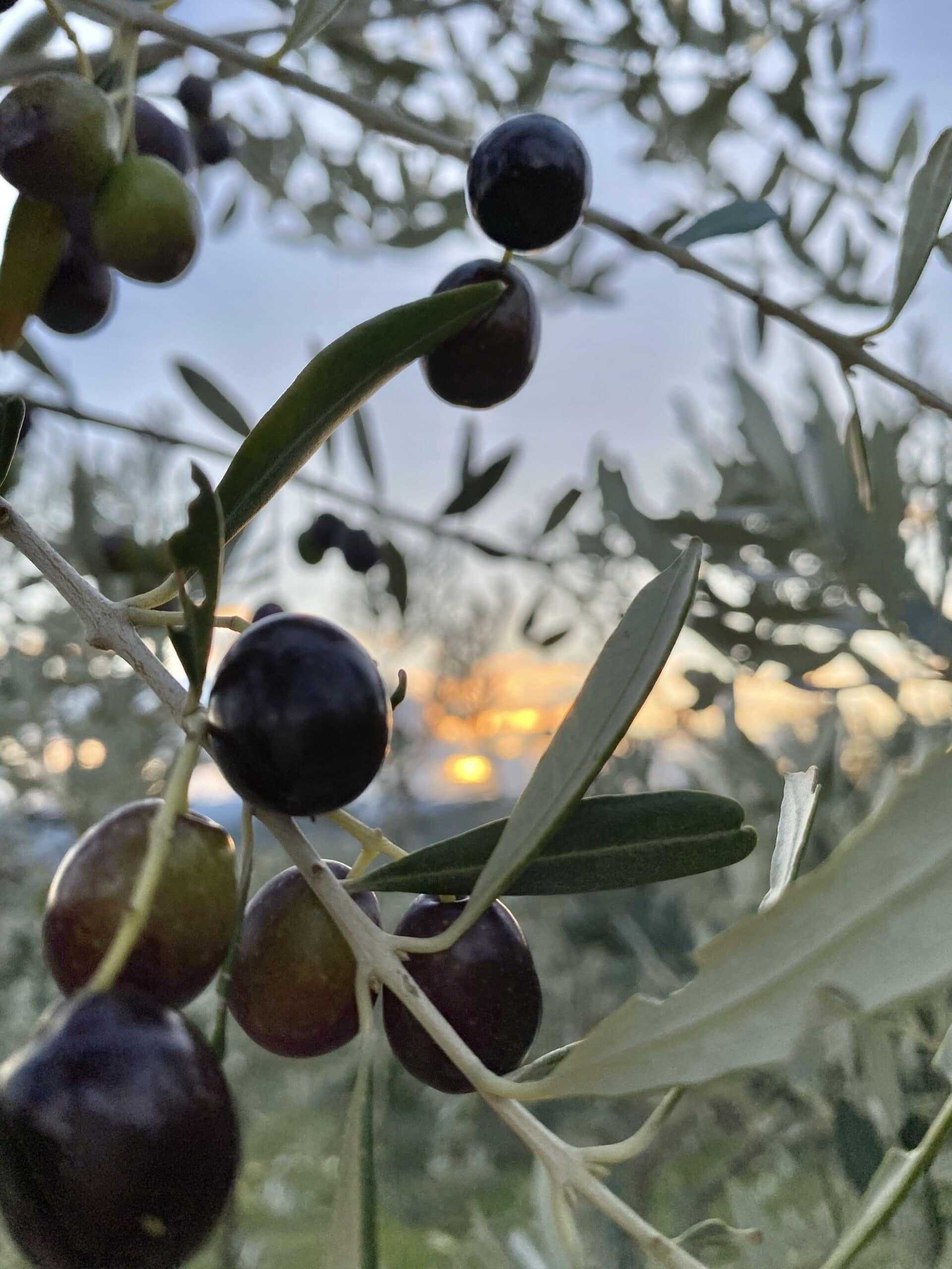 Olive nelle olivete presso Radicondoli