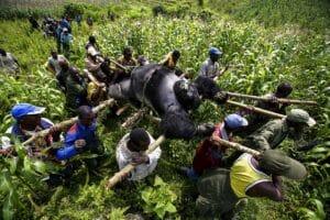 Lo scatto nel Parco Nazionale di Virunga di Brent Stirton