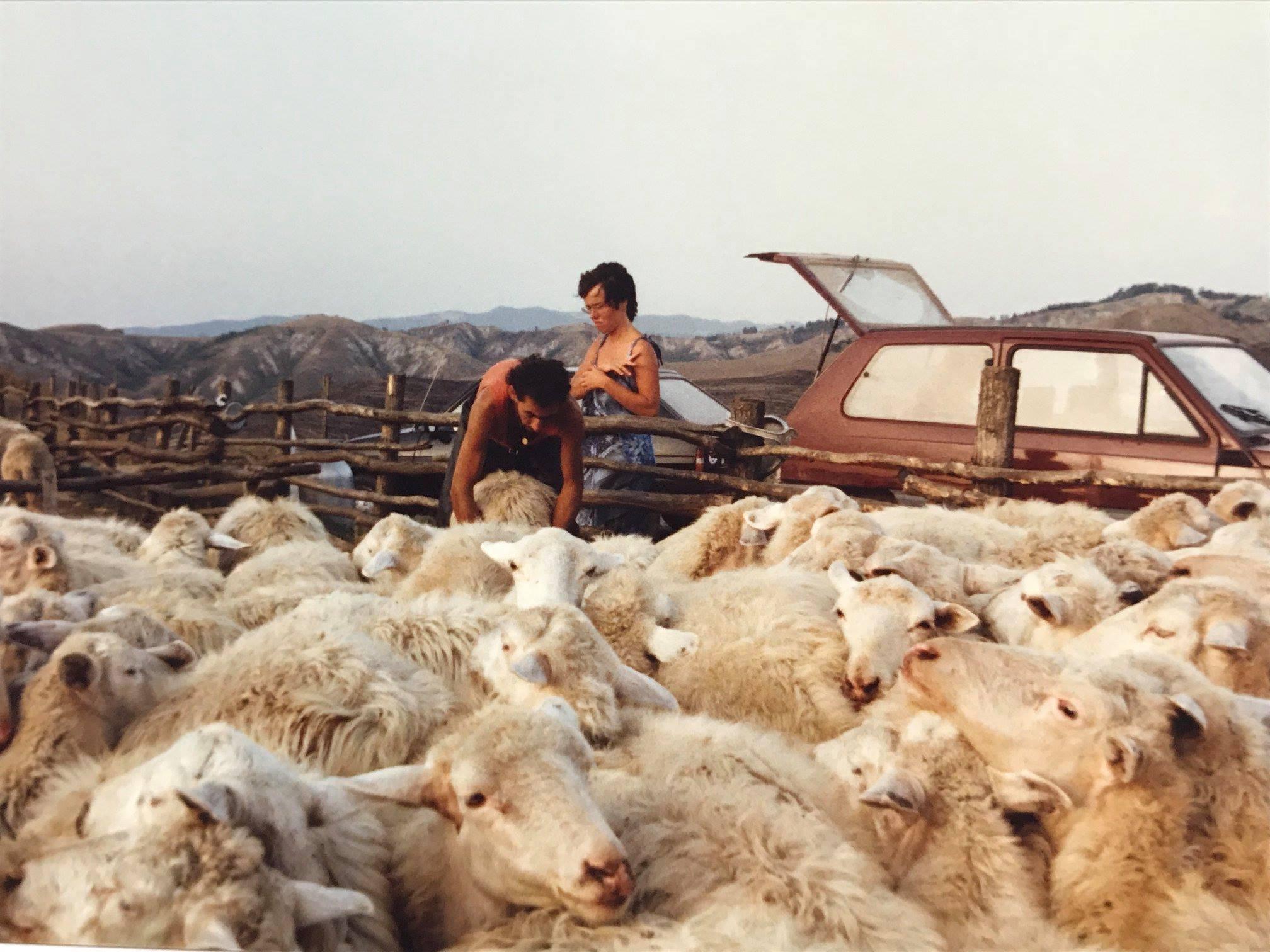 Allevamento semi-selvaggio delle pecore